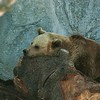 Brown Bear - Ruskeakarhu - Ursus arctos<br /> <br /> So boring... - Tylsää...