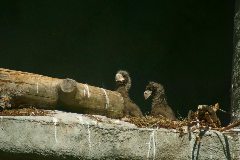 Kuningasmerikotka - Haliaeetus pelagicus - Steller's Sea Eagle