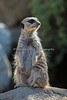 Slender-tailed Meerkat on watch