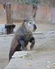 It's no problem for this youngster to hop up 4 feet to the upper level.  (Sichuan Takin calf)