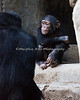 Baby Chimpanzee sitting at the cave entrance.