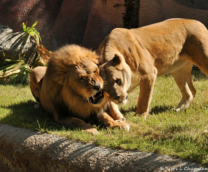 The beautiful African Lion, Hubert, and his mate Kalisa
