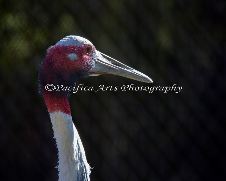 Sarus Crane - this is the world's tallest flying bird, and it is TALL!