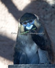 Always eat your green beans.  (Mustached Guenon)