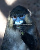 Mustached Guenon munching on a green bean.