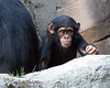 One of the baby Chimpanzees wanders off to play with the other youngsters.