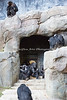 The Chimpanzees seem to enjoy their cave entrance, and they all sit around there, while the youngsters play.