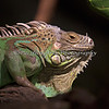 Close-up of the Green Iguana (not positive on the identification)