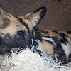 You can find the African Wild Dogs in the Predators of the Serengeti exhibit.