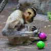 This White-cheeked Gibbon finds something tasty inside the enrichment balls