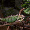 Green Iguana (not positive on the identification)