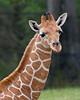 Erin, a 6 week old Reticulated Giraffe.