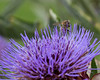 One of the Cardoon flowers at Conservation Corner, with a Honey Bee on it.  There's a Honey Bee hive near there also.