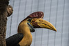 Red Knobbed Hornbill-6304