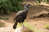 Abyssinian Ground Hornbill-6511