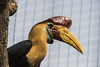 Red Knobbed Hornbill-6307