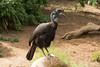 Abyssinian Ground Hornbill-6512