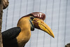 Red Knobbed Hornbill-6311