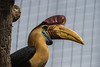 Red Knobbed Hornbill-6305