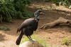 Abyssinian Ground Hornbill-6509