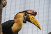 Red Knobbed Hornbill-6308