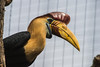 Red Knobbed Hornbill-6309