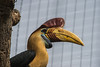 Red Knobbed Hornbill-6303