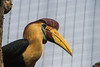Red Knobbed Hornbill-6312