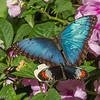 COMMON BLUE MORPHO AND ???