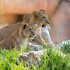 AFRICAN LION CUB<br /> KEN AND DIXIE
