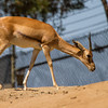 SUDAN RED-FRONTED GAZELLE