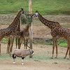 MASAI GIRAFFES AND BEISA ORYX
