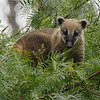 MOUNTAIN COATIMUNDI