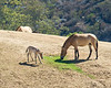 Przewalskis Horse with foal