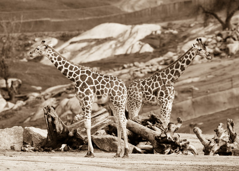 A pair of young giraffe
