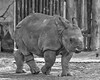 One Horned Rhinoceros, 4 monthe old