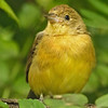 FEMALE CRIMSON-COLLARED FINCH.
