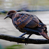 WHITE-THROATED GROUND DOVE<br /> immature