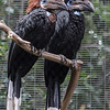 BLACK-CASQUED HORNBILLS female left, male right