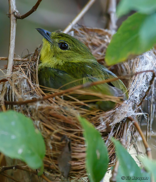 NESTING FEMALE GOLDEN-COLLARED MANAKIN
