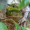 FEMALE GOLDEN-COLLARED MANAKIN ON HER NEST.