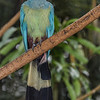 GREAT-BLUE TURACO