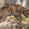 10 WEEK OLD MALE JAGUAR CUB BORN 3/12/2015.