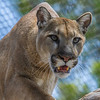 MOUNTAIN LION<br /> Kima