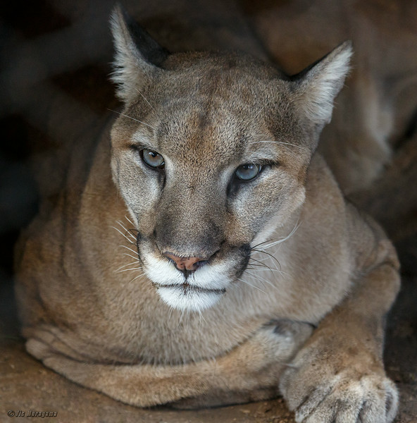 KIMA, A MALE MOUNTAIN LION.