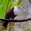 White-throated Ground Dove