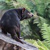 MALE TASMANIAN DEVIL - JAKE