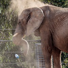 FEMALE AFRICAN ELEPHANT MILA