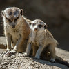 MOM AND BABY MEERKATS