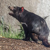 TASMANIAN DEVIL Male - Jake